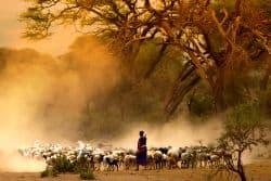 Schafsherde in Kenia