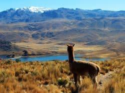Alpaca schaut auf Berge
