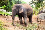 Elefant auf Phuket