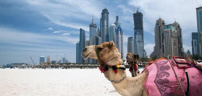 Kamel in Dubai