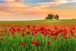 Feld mit schönen Mohnblumen