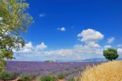 Lavendel in der Normandie