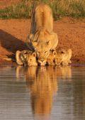 Löwen trinken am Fluss