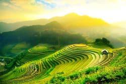 Reisfeld in Kambodscha