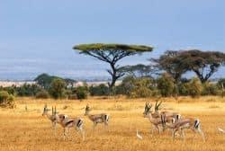 Herde Gazellen in Kenia