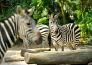 Zebras im Zoo