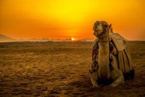 Kamel im Sonnenuntergang