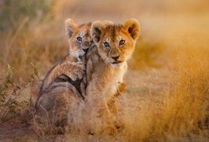 Löwen Junge