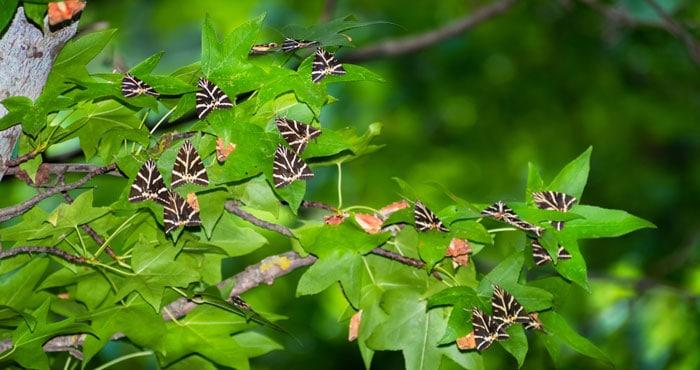 Petaloudes, das Schmetterligstal