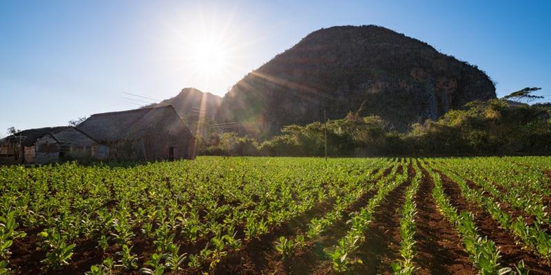 Tabakplantagen im Vuelta Abajo